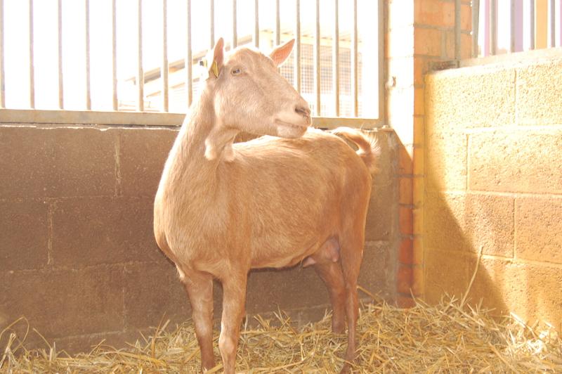 La cabra Mercedes