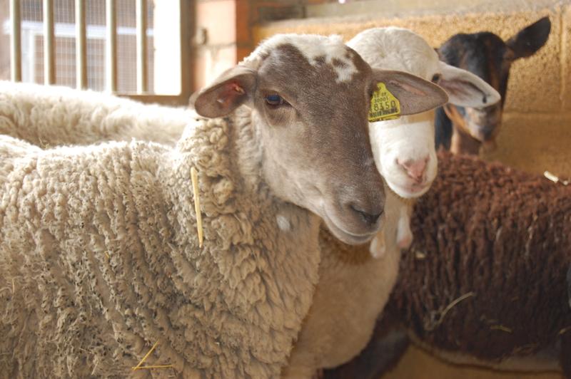 Les nostres ovelles
